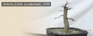 Ostorfa (Celtis occidentalis) 2016 végén