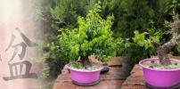 Sajmeggy (Prunus mahaleb) lombmetszés, metszés