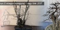Galagonya (Crataegus monogyna) - A nagy tönk 2017 január