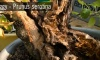 Prunus serotina bonsai - a kései meggyem