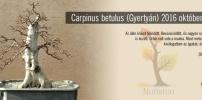 Carpinus betulus - FEN-nek hívom