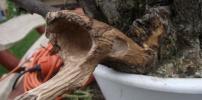 Galagonya bonsai törzs kialakítás - A kezdet -