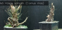 Az első Húsos somom (Cornus mas)